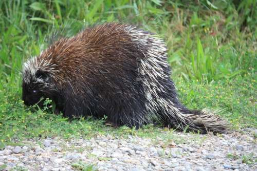 Canadian Porcupine Porcupine Canada Animal Prickly