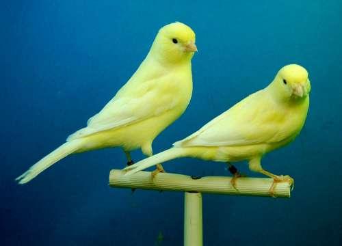 Canaries Yellow Aviary