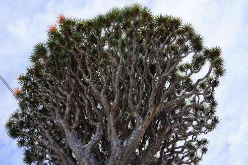 Canary Island Dragon Tree Dragon Tree Dracaena Draco