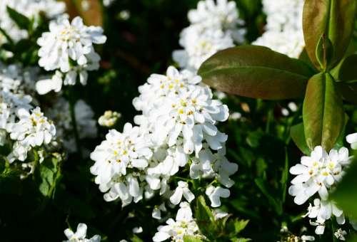 Candytuft Perennial Evergreen Plant