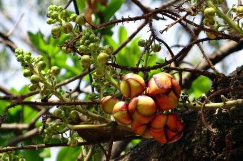 Cannonball Tree Bud Flower Tree