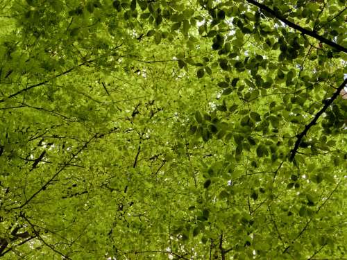 Canopy Deciduous Trees Leaves Nature Green