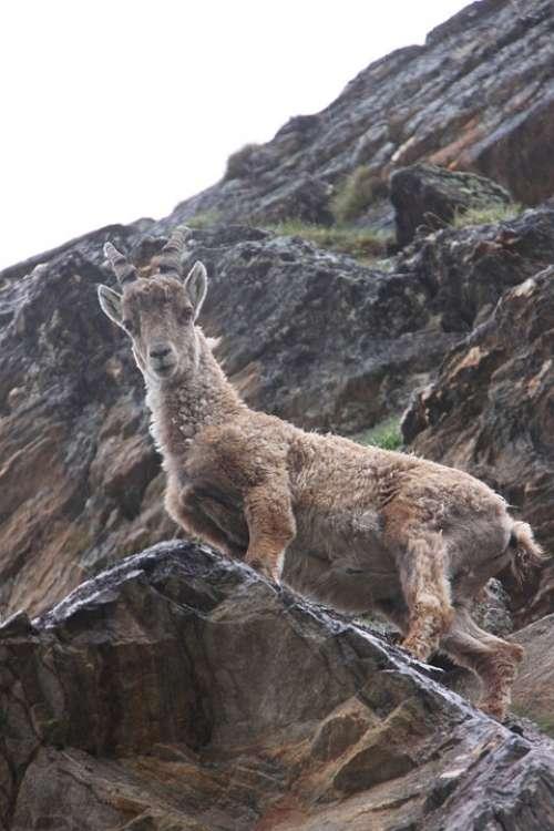 Capricorn Zodiac Wild Wild Animal Animal Mountain