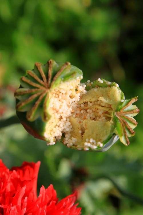 Capsules Garden Opium Papaver Poppy Pods Raw
