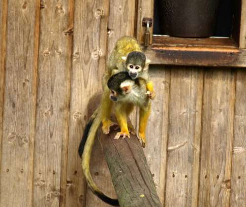 Capuchins Mother And Child Monkey Cute Cebus