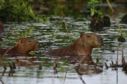 Capybara Mud Grass