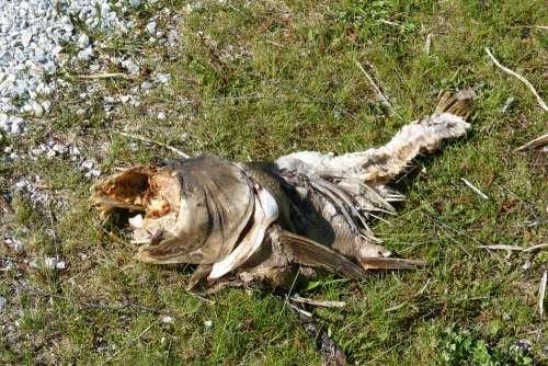 Carcass Fish Carcass Rotten