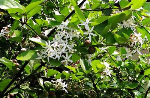 Carissa Carandas Karonda Flowers Berries Shrub