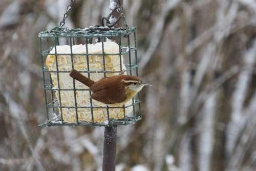 Carolina Wren Wren Bird Passerine Bird