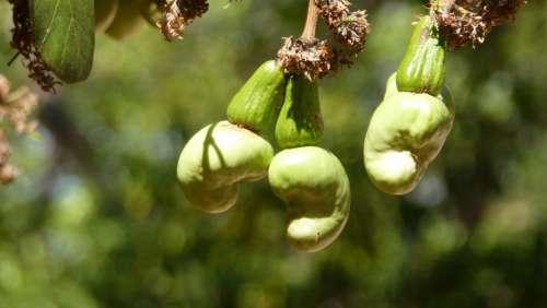Cashew Nuts Cashew Tree Koh Phangan Thailand