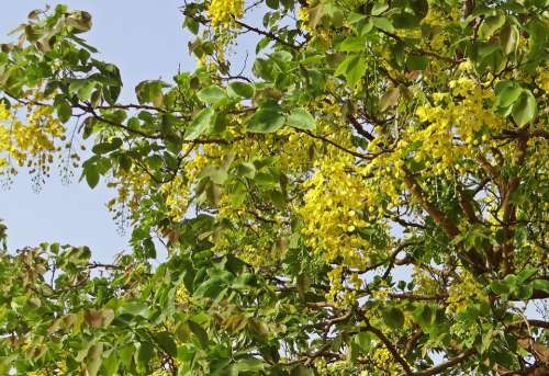 Cassia Fistula Golden Shower Tree Amaltas Flowers