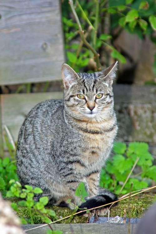 Cat Cat'S Eyes Animals Green Grass Grey Cat Ears
