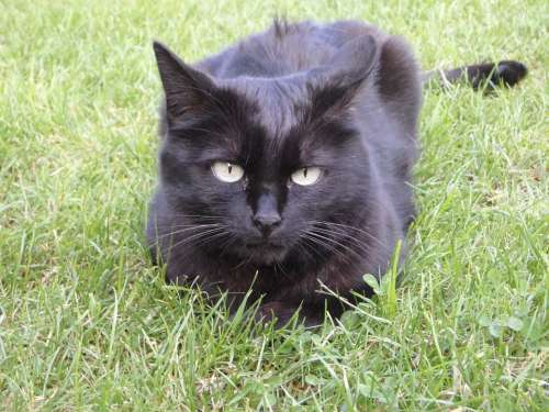 Cat Relax Animal Black