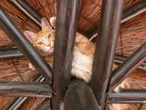 Cat Ginger Paws Rafters High Fur