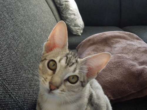 Cat Remote Access Kitten Animal Mammal Cheetoh