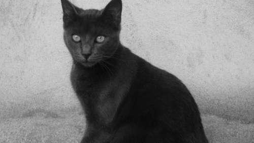 Cat Black Nature Animals