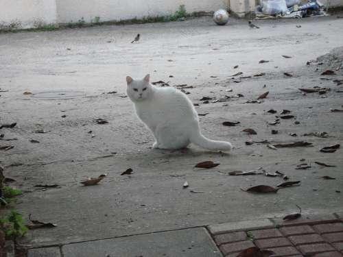 Cat White Animals
