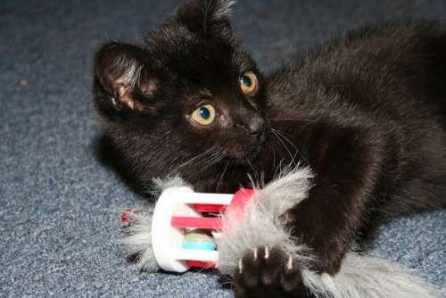 Cat Black Animals Play
