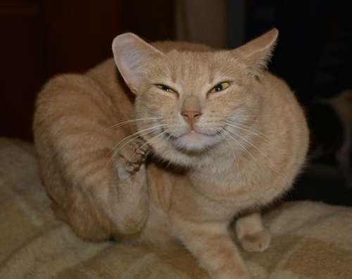 Cat Red Brown Scratch Animal Velvet Paw