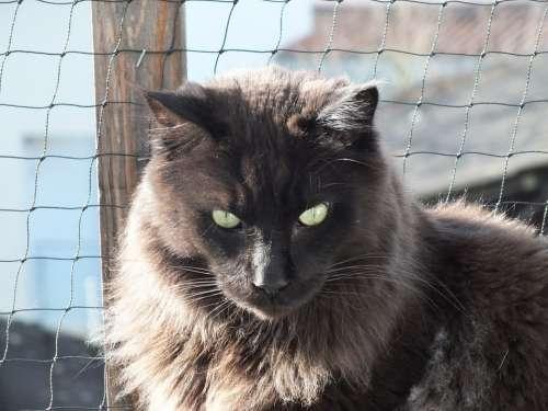 Cat Black Pet Cat'S Eyes Maine Coon Domestic Cat