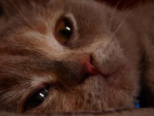 Cat Closeup Little Kitty Kitten Lilac Briton