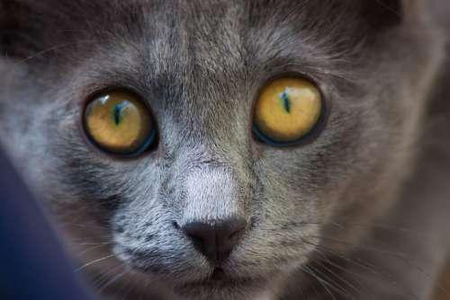 Cat Feline Pet Animal Animals Look Cat Eyes