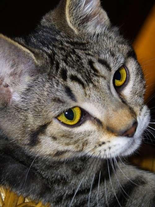 Cat Face Portrait Feline Tabby Close-Up Pet