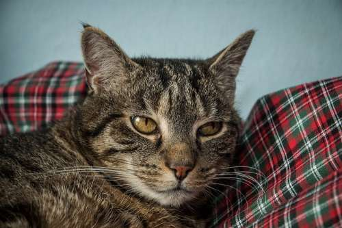Cat Cat Face Head Mieze Domestic Cat Animal