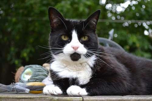 Cat Feline Black White Domestic Short Hair Female