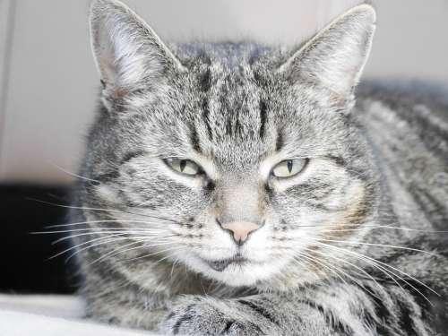 Cat Animal Pet Mieze Face