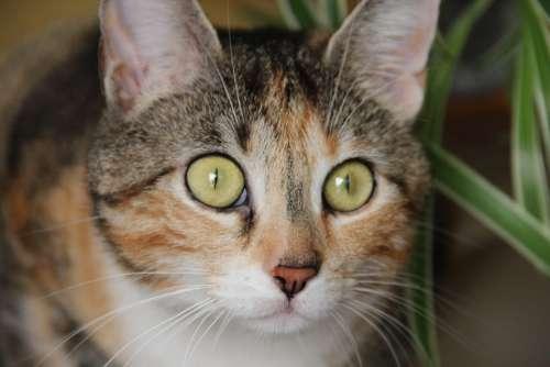 Cat Domestic Cat Cat'S Eyes Cat Face Head