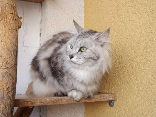Cat Animal Kurilian Bobtail