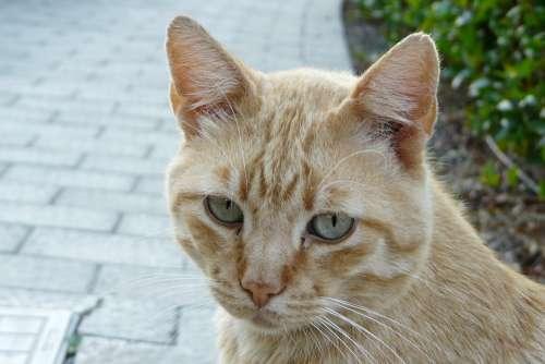 Cat Tiger Cat Face Head Portrait