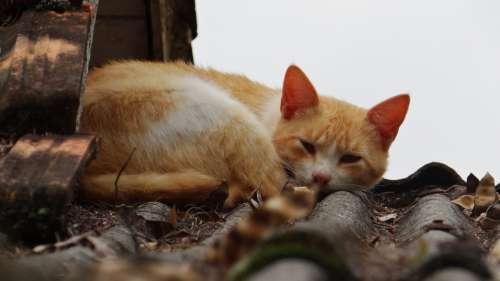 Cat Sleeping Feline Yellow Animal Pet Roof