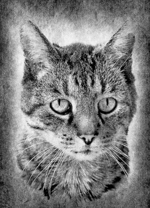 Cat Domestic Cat Black White Proud Brave Loyal