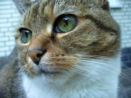 Cat Playful Pet Cat Face Head Mieze Domestic Cat
