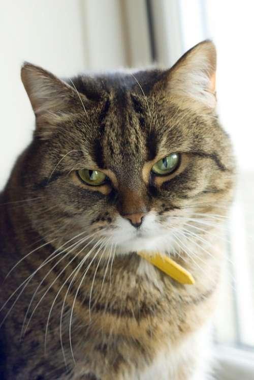 Cat Pet Portrait Cute Kitty Domestic