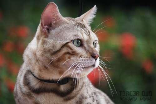 Cat Feline Pet Animal Eyes Animals