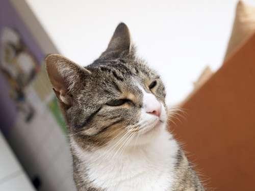 Cat Pet Mieze Cat Face Head Young Cat