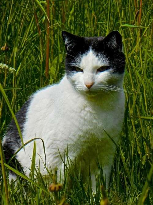 Cat Black-White Cat Face Animals Pets