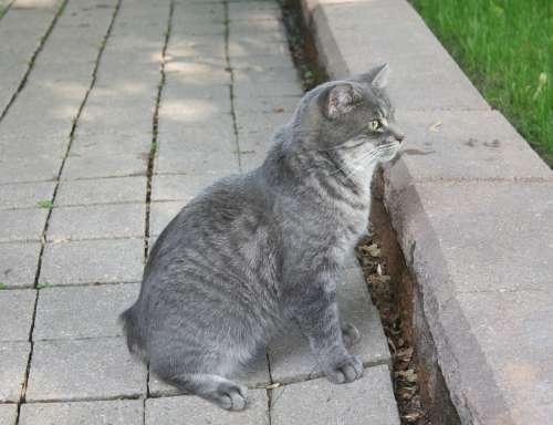 Cat Grey Pet No Tail Animal Domestic Feline Manx