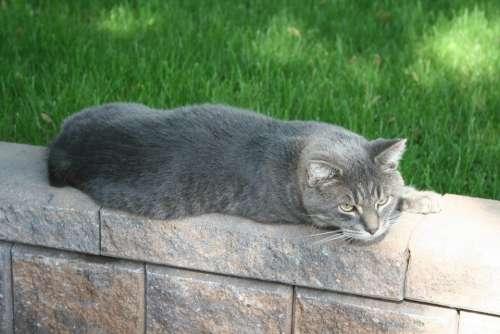 Cat Grey Pet Animal Domestic Feline House Cat