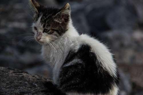 Cat Kitten Stray Cat Black And White Animal