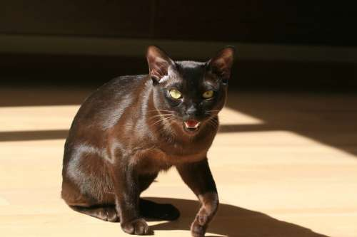 Cat Black Feline Animal Pet