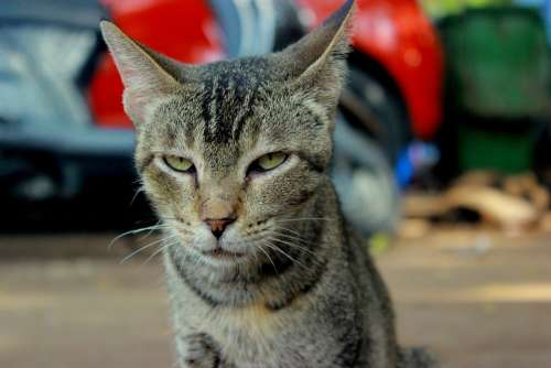 Cat Angry Face Unhappy Animal Feline Head