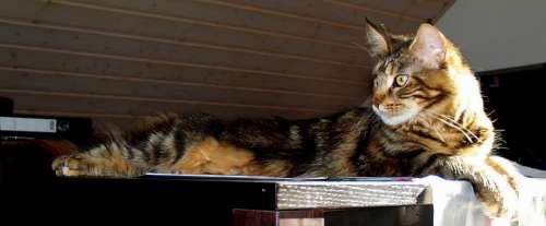 Cat Large Table Mackerel