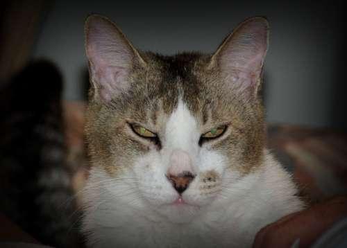 Cat Evil Eye Eyes Domestic Feline Pet Kitty