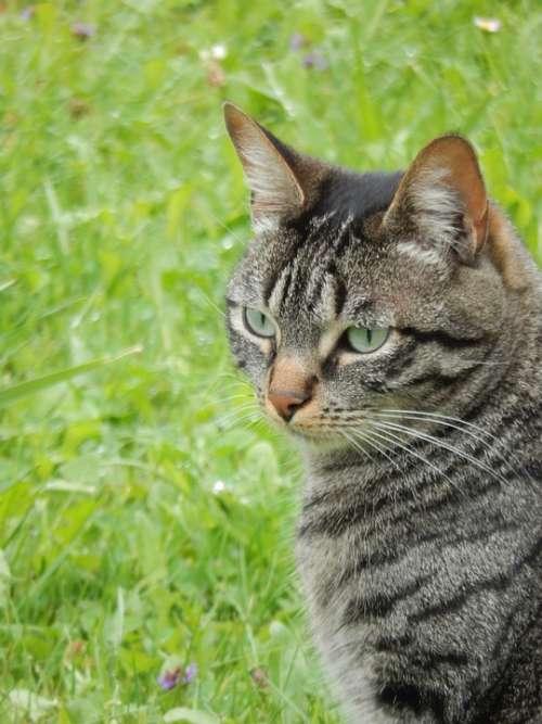 Cat Animal Domestic Animal