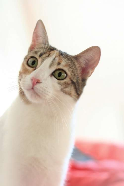 Cat View White Domestic Cat Animal Cat Face Head