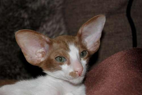 Cat Kitten Cat Baby Curious Oriental Shorthair Fur